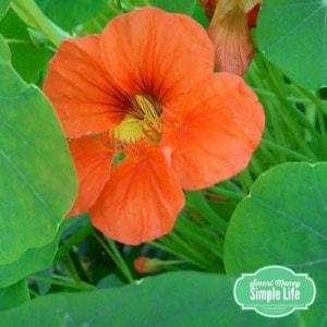 grow your own food - nasturtiums