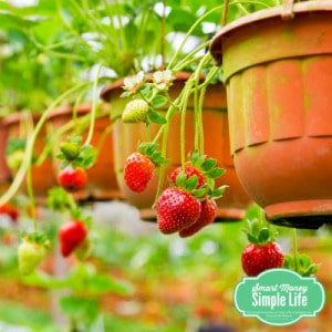 grow your own food - strawberries
