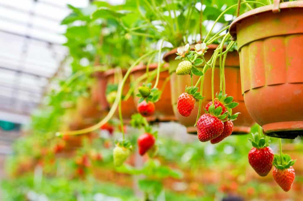 frugal-living-skills-grow-strawberries-hanging-basket